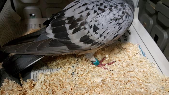 Geringde duif aan komen vliegen (update) - Foto: eigen geleverde foto