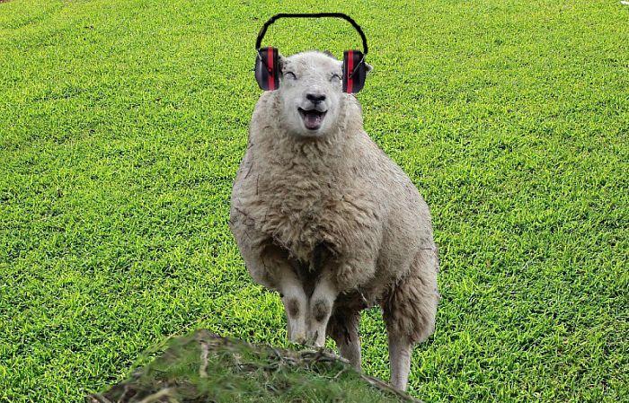 Ik droom van schapen zonder oordoppen - Foto: eigen geleverde foto