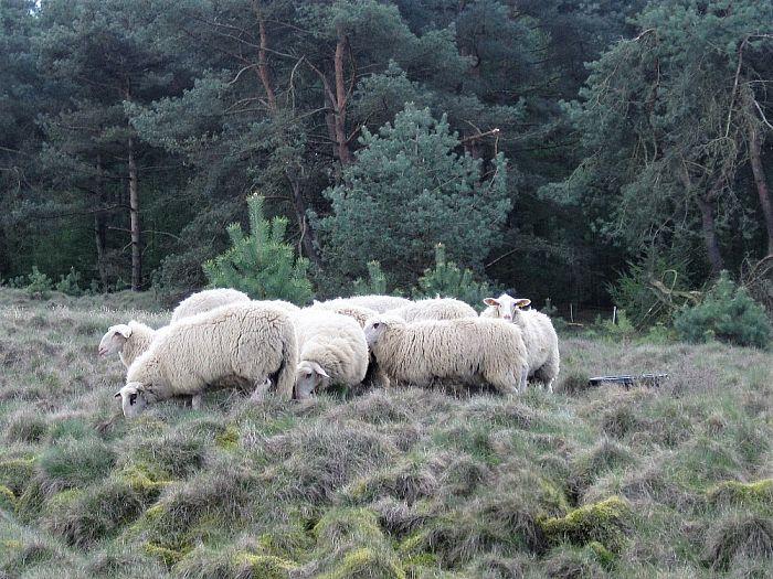 De kudde is aan het oefenen - Foto: eigen geleverde foto