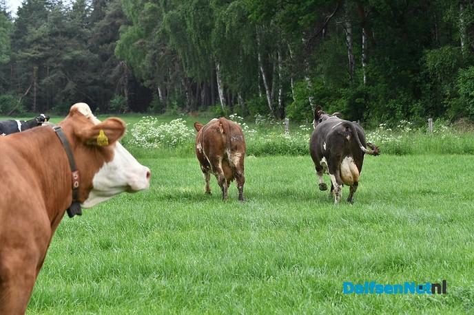 Koeiendans bij familie Vlastuin - Foto: Johan Bokma