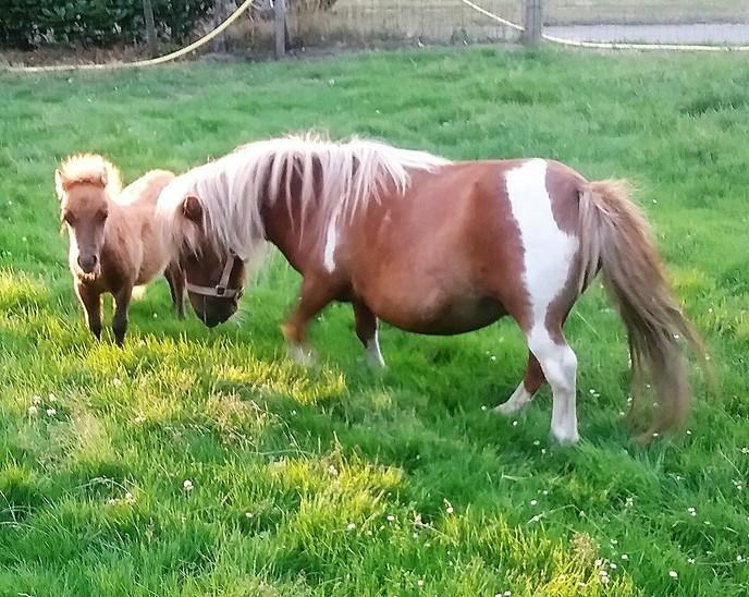 Ini mini pony terug van vakantie - Foto: eigen geleverde foto