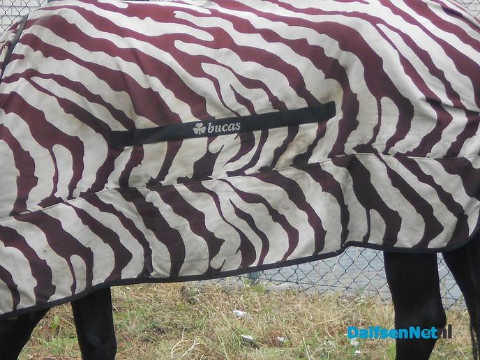 Een zebra in Dalfsen?