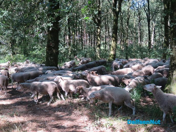 Deze week 200 schapen op Rechterenseveld - Foto: Wim
