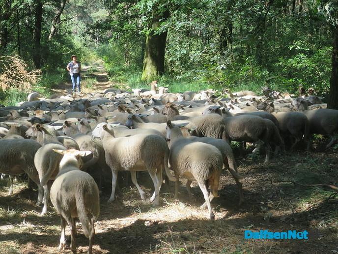 Nieuws van de boswachter: Wie de kudde nog wil zien moet snel zijn - Foto: Wim