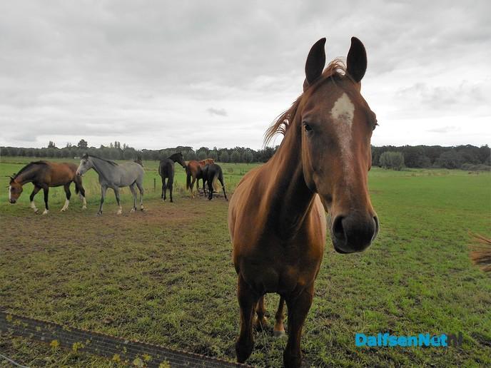 Even weer neuzen bij de paarden van Diepman