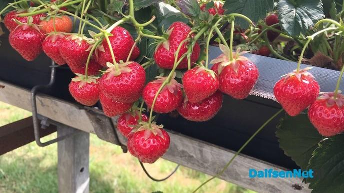 Zelf aardbeien plukken - Foto: Ingezonden foto