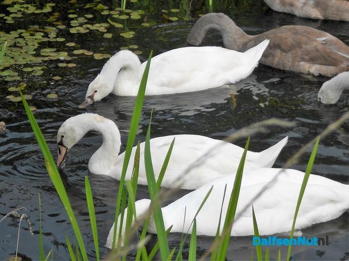 Koppeltje witte zwanen aan de Zwarteweg