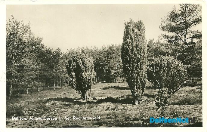 Jeneverbesstruiken Rechterenseveld - Foto: Ingezonden foto