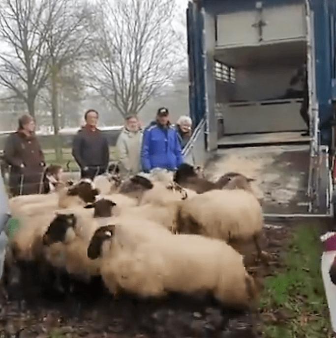 Zwolsche schaapskudde gaat weer overwinteren in Friesland - Foto: eigen geleverde foto