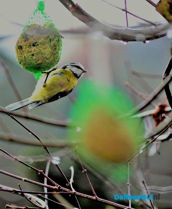 Pimpelmees op vetbol - Foto: Ben Jonkman