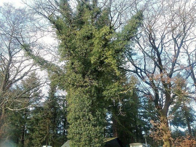 Hedera (klimop) klimt de boomtoppen in - Foto: eigen geleverde foto