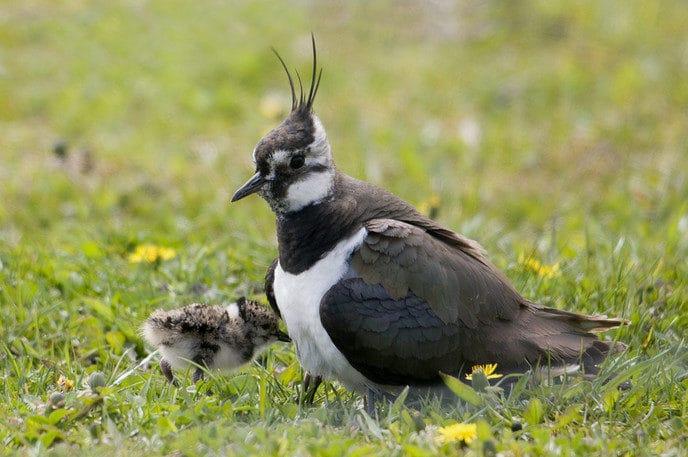 Hulp gevraagd weidevogels in Overijssel - Foto: eigen geleverde foto