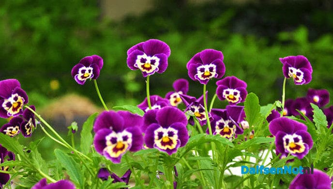 Scouting Dalfsen bezorgt bloemetje aan huis voor moederdag - Foto: Ingezonden foto