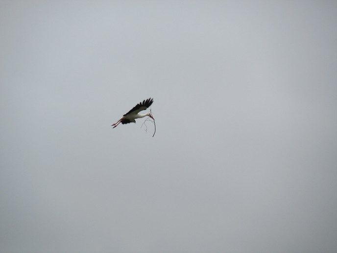 Nest bouwen en met takjes vliegen - Foto: eigen geleverde foto