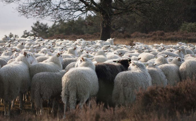 Landschap Overijssel zoekt inhuur-herder - Foto: eigen geleverde foto