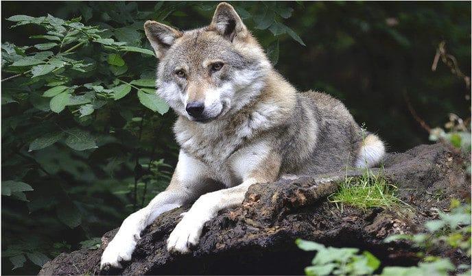 Wolf gespot in Hessum?