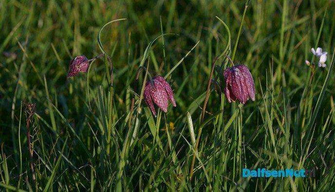 Kievitsbloemen in volle bloei - Foto: Johan Bokma