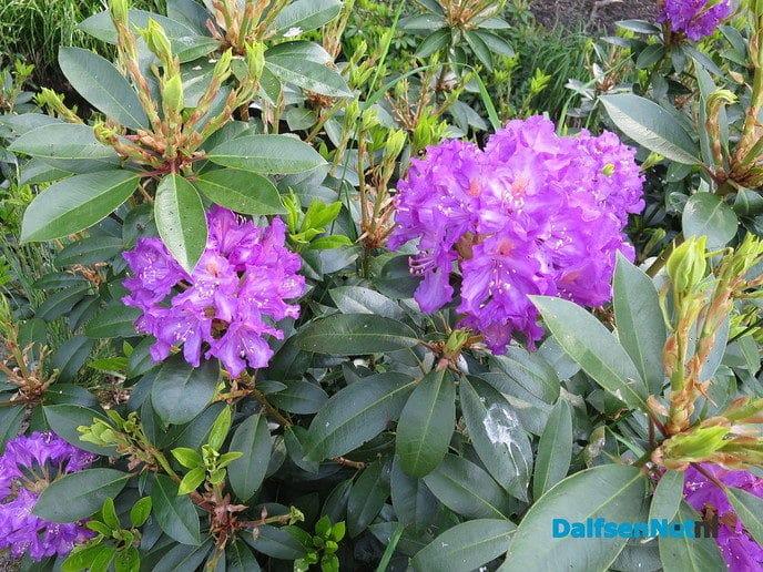 Rododendron heeft slecht jaar achter rug - Foto: Wim