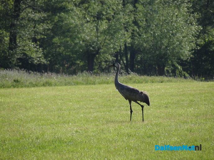 Kraanvogel - Foto: Ingezonden foto