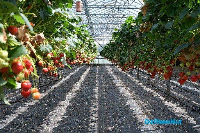 Zelf aardbeien plukken tijdens open dag Tuinderij van der Kolk - Foto: Johan Bokma