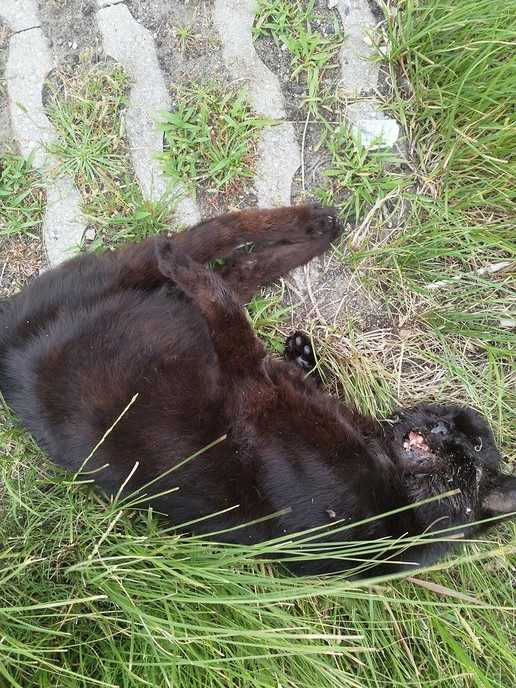 Dode Kat N35 nabij afslag Hoonhorst - Foto: eigen geleverde foto
