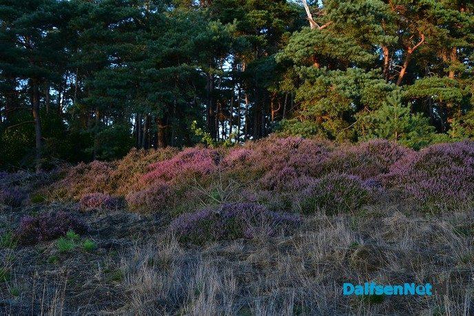 De heide bloeit op het Rechterense Veld in Dalfsen - Foto: Johan Bokma