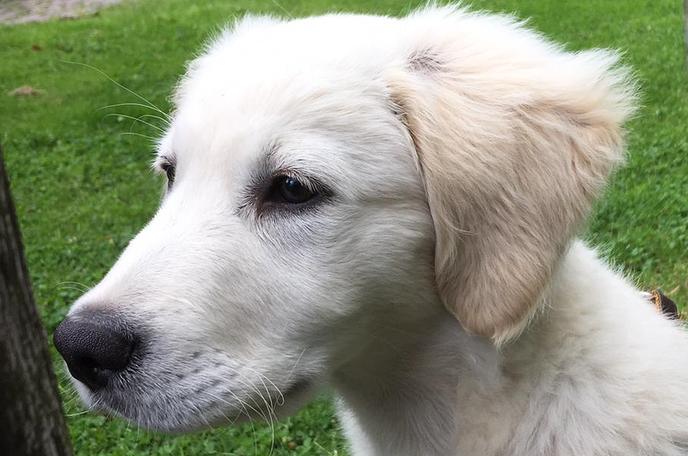 Weggelopen pup golden retriever  (update) is weer terecht! - Foto: eigen geleverde foto