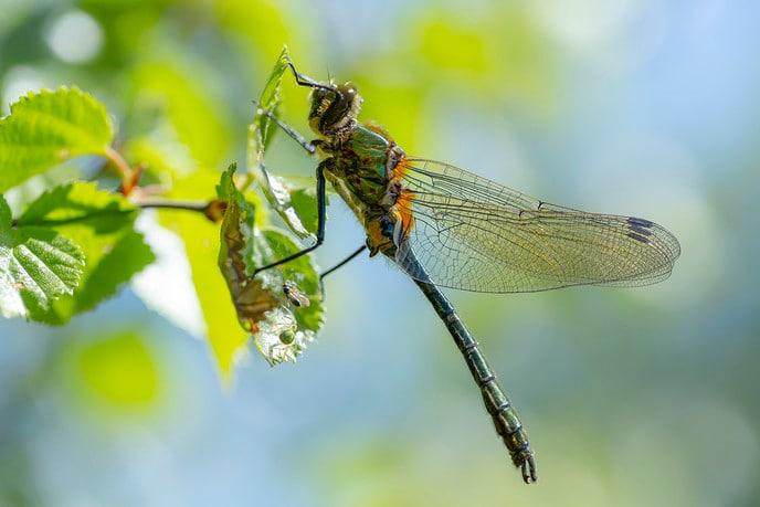 Foto van de smaragdlibel - Foto: Ingezonden foto