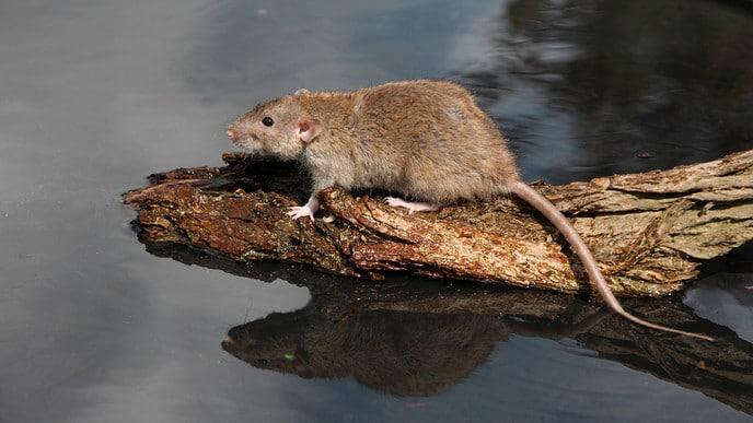 Bestrijden bruine ratten geen taak van waterschap - Foto: Ingezonden foto