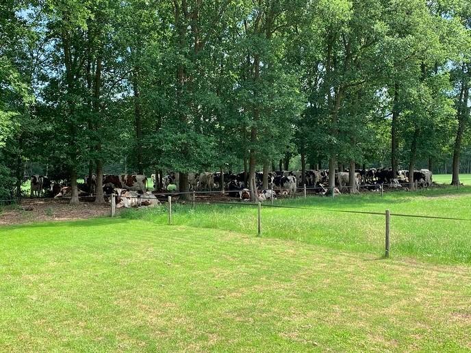 Koeien in de schaduw - Foto: Ingezonden foto