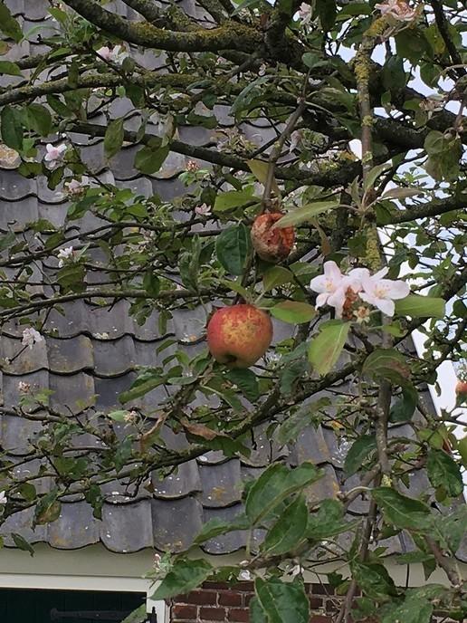 Appelboom in bloei eind september - Foto: Ingezonden foto