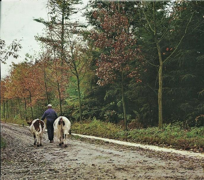 Koeien op stal - Foto: Wim Jansen