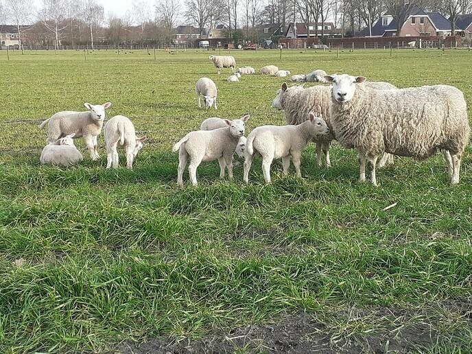 Lammetjes in weiland - Foto: William uit Dedemsvaart