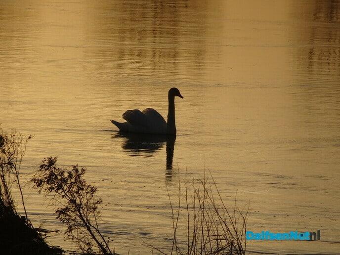 Dode zwaan Bellingeweer - Foto: Ingezonden foto