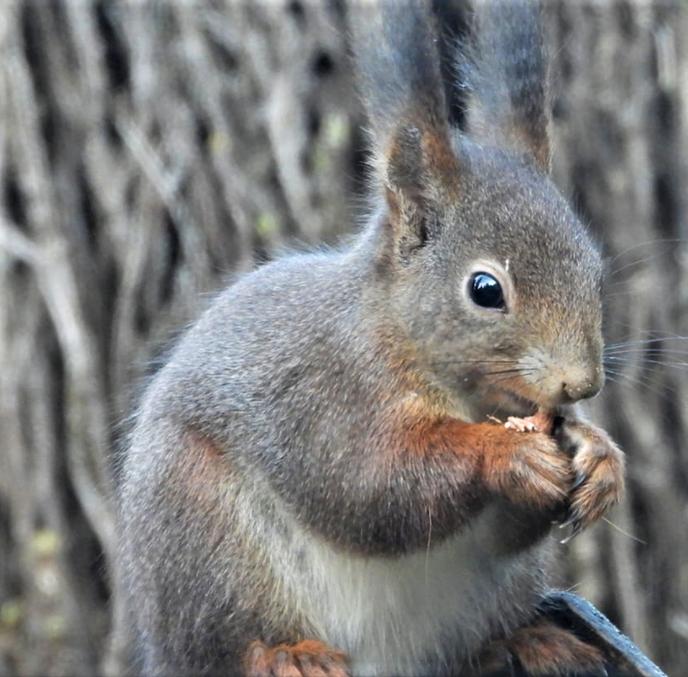 Album: eekhoorns de Stuwe - Foto: Ingezonden foto