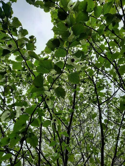 Zakdoekenbomen in bloei - Foto: Ingezonden foto