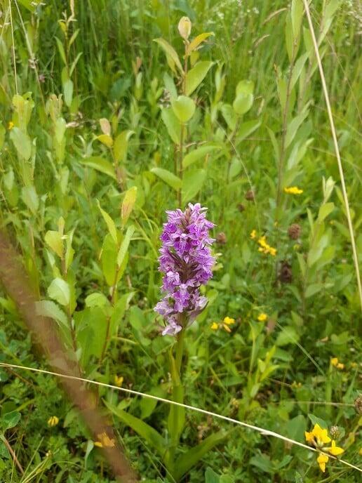Wilde Orchideeën op vroegere schouwpaden - Foto: Wim Jansen