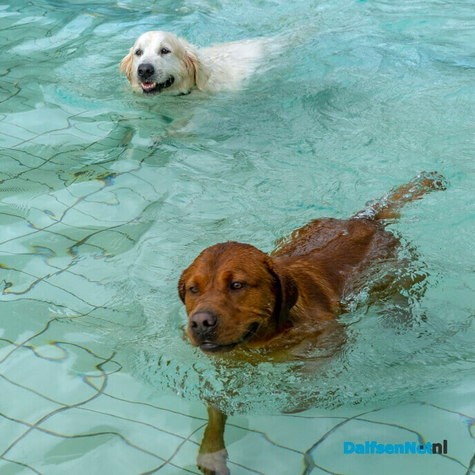 Afsluiten zwemseizoen 2021 met hondenzwemmen - Foto: Paul Scholten