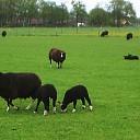 Zwarte schapen aan de Zwarteweg en meer