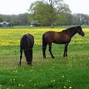 Paarden en veel paardebloemen