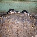 Zwaluwen kijken net over het randje