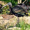 Zwarte ibis in Dalfsen neergestreken