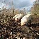 Eerste aardpeervarken van de Panhof geslacht