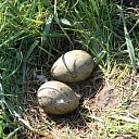 Eerste wulpenei van Nederland gevonden in de Mastenbroekerpolder!