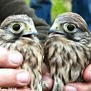 Vogels ringen Bij Boerhoes.