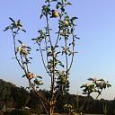 Appelboom van de leg?
