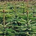 Kerstbomen inzameling kan toch door gaan