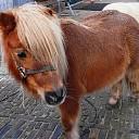 Pony ontsnapt en weer terug