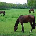 Grazende paarden