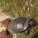 Roodwangschildpad legt eieren op de Bellingeweer Dalfsen